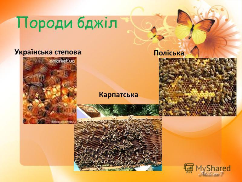 Породи бджіл Українська степова Карпатська Поліська