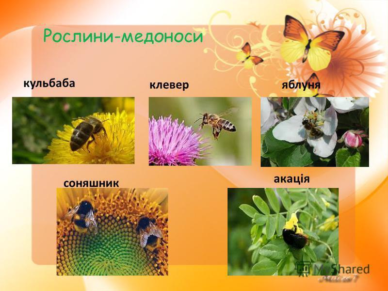 Рослини-медоноси кульбаба клеверяблуня соняшник акація