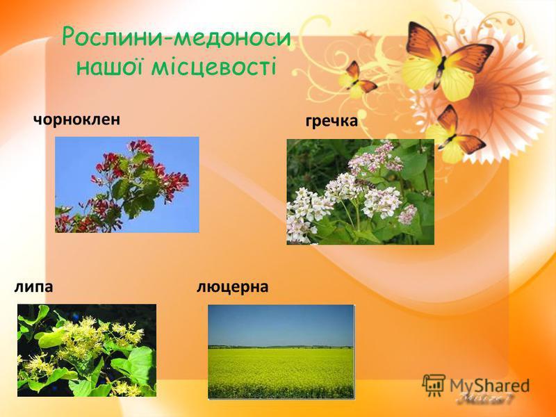 Рослини-медоноси нашої місцевості чорноклен гречка липалюцерна