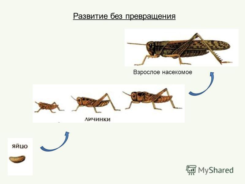 Развитие без превращения Взрослое насекомое