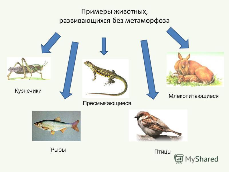 Примеры животных, развивающихся без метаморфоза Кузнечики Рыбы Пресмыкающиеся Птицы Млекопитающиеся