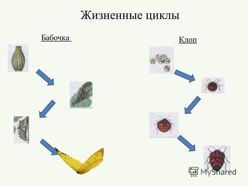 Жизненные циклы Бабочка Клоп