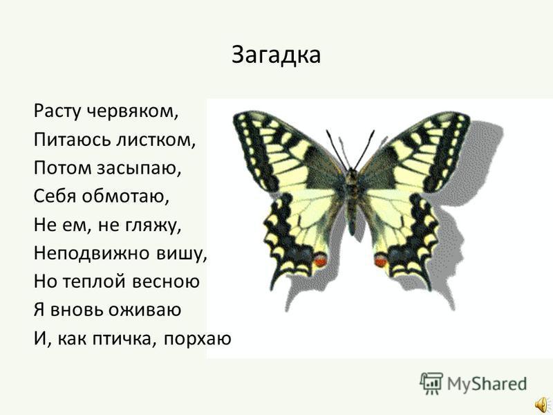 Загадка Расту червяком, Питаюсь листком, Потом засыпаю, Себя обмотаю, Не ем, не гляжу, Неподвижно вишу, Но теплой весною Я вновь оживаю И, как птичка, порхаю
