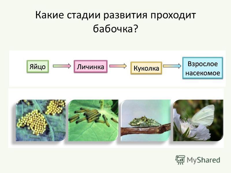 Какие стадии развития проходит бабочка?