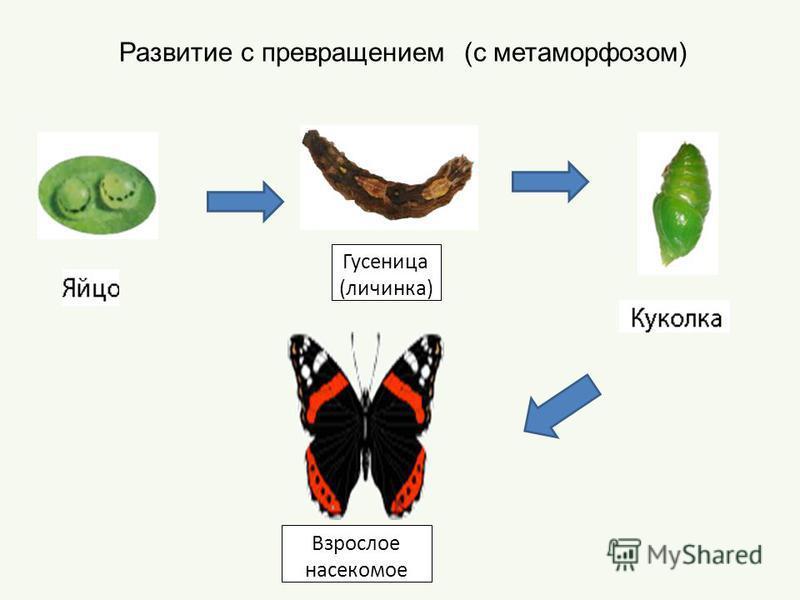 Развитие с превращением (с метаморфозом) Гусеница (личинка) Взрослое насекомое
