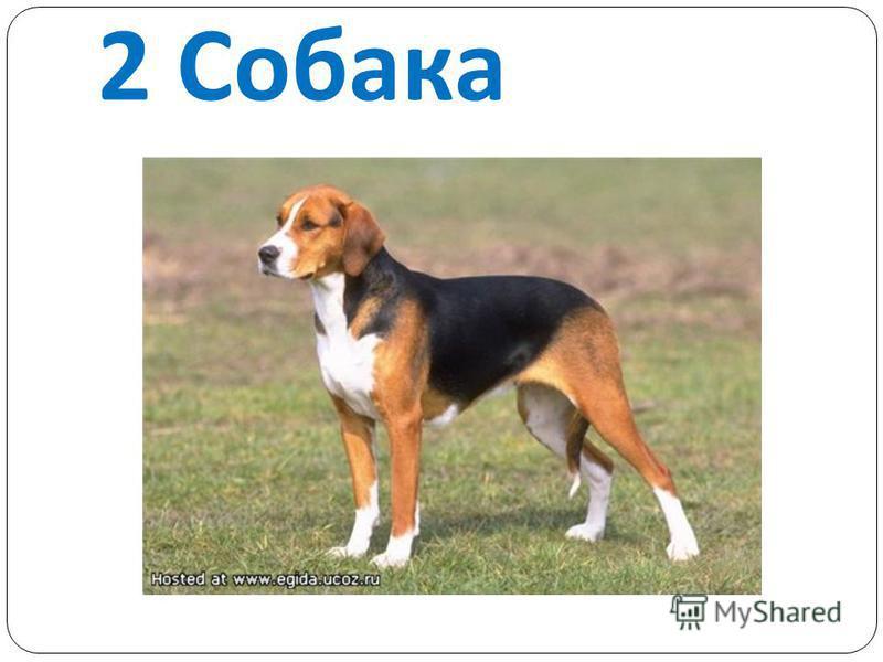 2 Собака