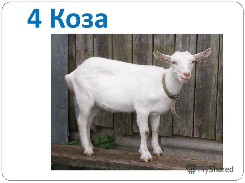 4 Коза