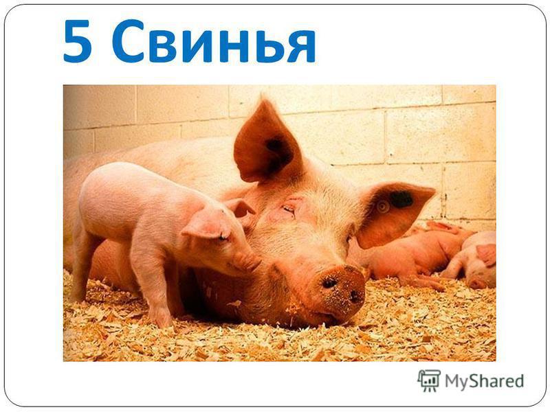 5 Свинья