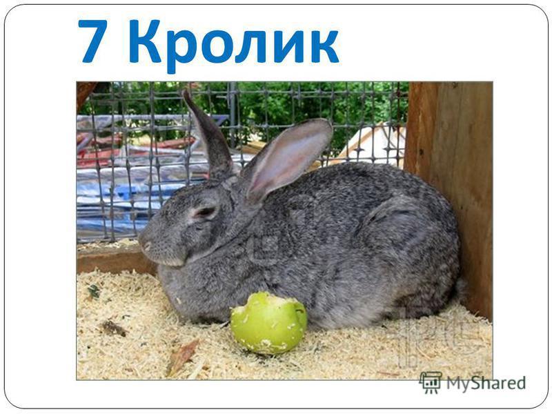 7 Кролик