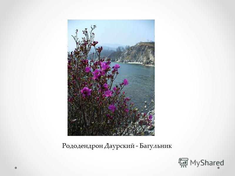 Рододендрон Даурский - Багульник