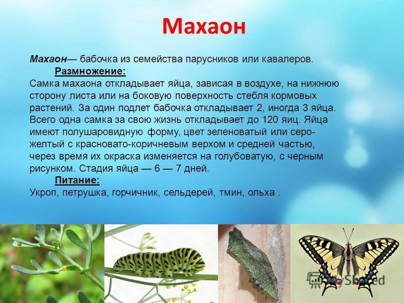 Махаон Махаон бабочка из семейства парусников или кавалеров. Размножение: Самка махаона откладывает яйца, зависая в воздухе, на нижнюю сторону листа или на боковую поверхность стебля кормовых растений. За один подлет бабочка откладывает 2, иногда 3 я