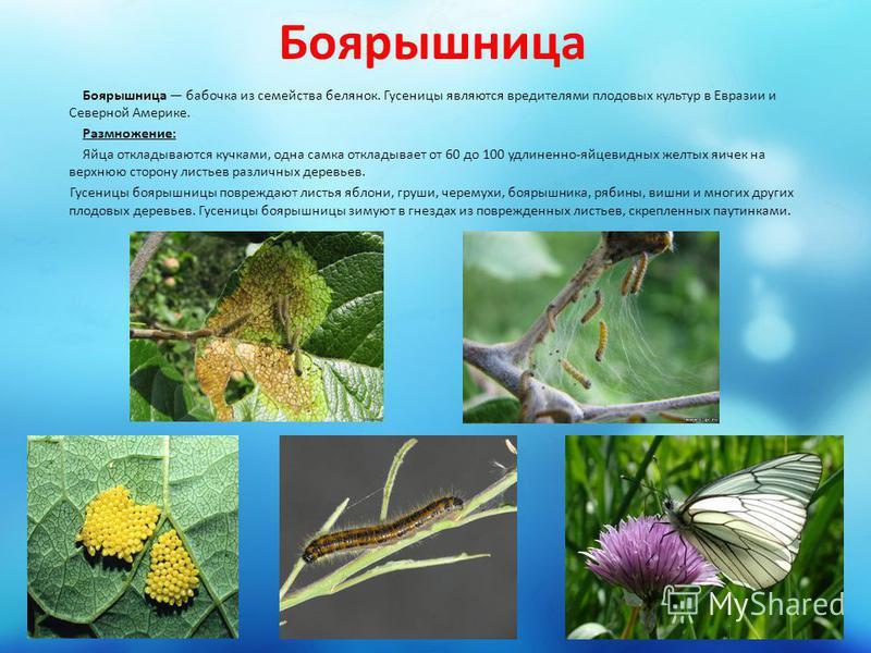 Боярышница Боярышница бабочка из семейства белянок. Гусеницы являются вредителями плодовых культур в Евразии и Северной Америке. Размножение: Яйца откладываются кучками, одна самка откладывает от 60 до 100 удлиненно-яйцевидных желтых яичек на верхнюю