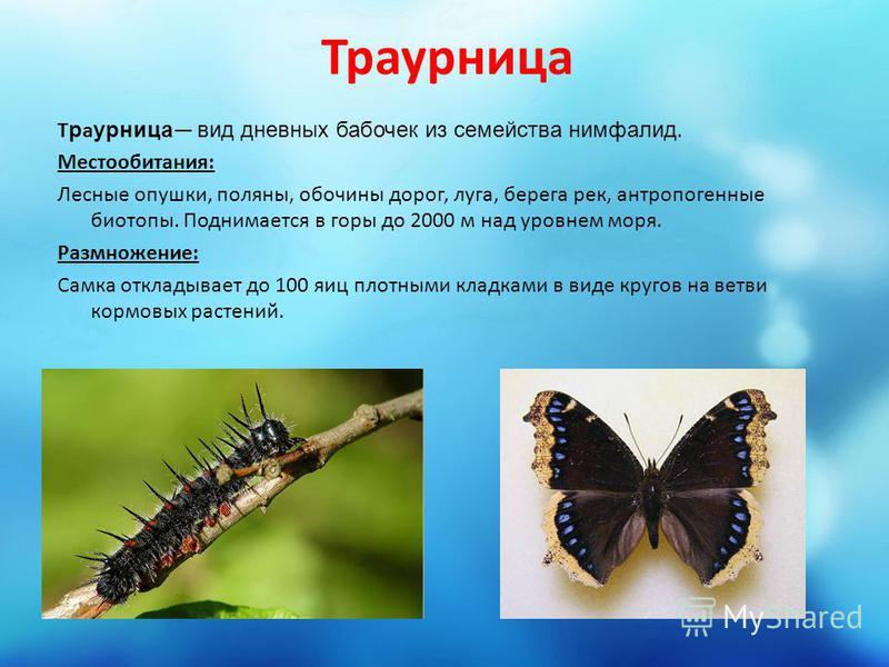 Траурница Траурница вид дневных бабочек из семейства нимфалид. Местообитания: Лесные опушки, поляны, обочины дорог, луга, берега рек, антропогенные биотопы. Поднимается в горы до 2000 м над уровнем моря. Размножение: Самка откладывает до 100 яиц плот