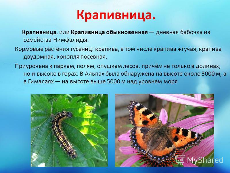 Крапивница. Крапивница, или Крапивница обыкновенная дневная бабочка из семейства Нимфалиды. Кормовые растения гусениц: крапива, в том числе крапива жгучая, крапива двудомная, конопля посевная. Приурочена к паркам, полям, опушкам лесов, причём не толь