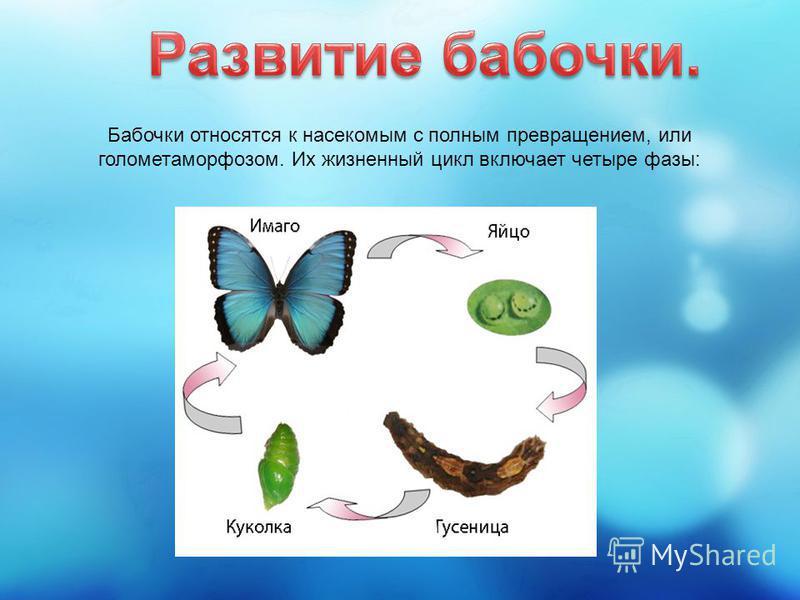 Бабочки относятся к насекомым с полным превращением, или голометаморфозом. Их жизненный цикл включает четыре фазы: