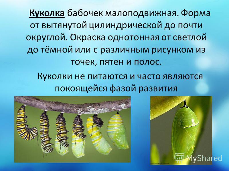 Куколка бабочек малоподвижная. Форма от вытянутой цилиндрической до почти округлой. Окраска однотонная от светлой до тёмной или с различным рисунком из точек, пятен и полос. Куколки не питаются и часто являются покоящейся фазой развития