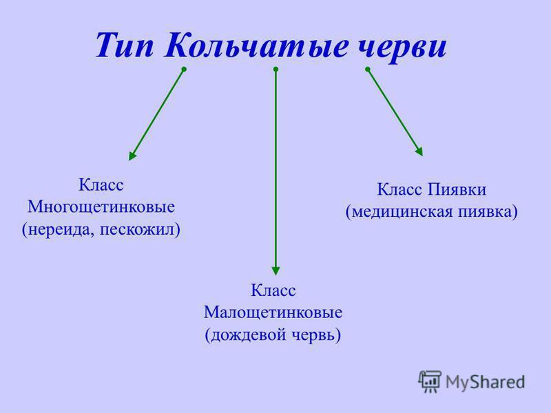 Тип Кольчатые черви Класс Многощетинковые (нереида, пескожил) Класс Малощетинковые (дождевой червь) Класс Пиявки (медицинская пиявка)