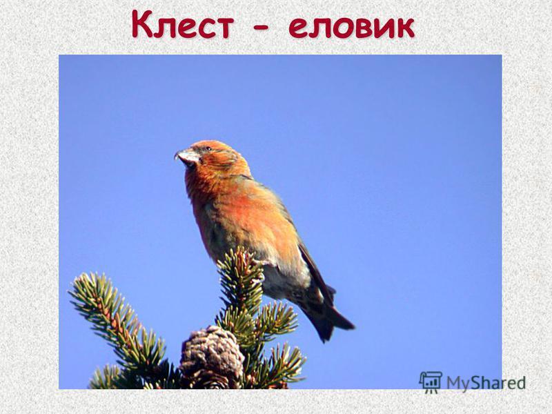 Клест - еловик