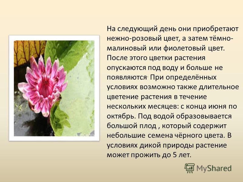 На следующий день они приобретают нежно-розовый цвет, а затем тёмно- малиновый или фиолетовый цвет. После этого цветки растения опускаются под воду и больше не появляются. При определённых условиях возможно также длительное цветение растения в течени