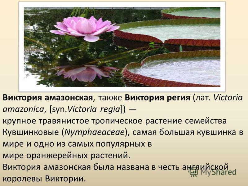 Виктория амазонская, также Виктория регия (лат. Victoria amazonica, [syn.Victoria regia]) крупное травянистое тропическое растение семейства Кувшинковые (Nymphaeaceae), самая большая кувшинка в мире и одно из самых популярных в мире оранжерейных раст