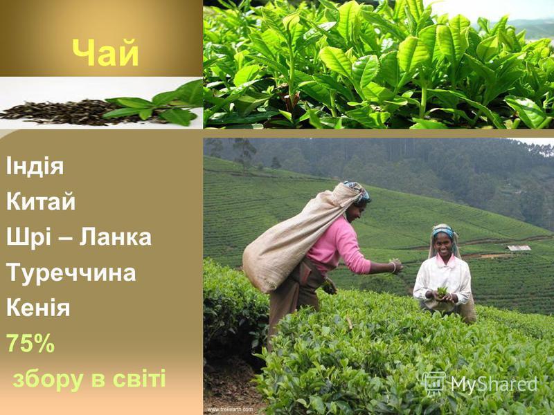 Чай Індія Китай Шрі – Ланка Туреччина Кенія 75% збору в світі