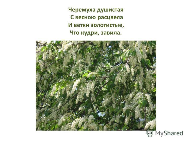 Черемуха душистая С весною расцвела И ветки золотистые, Что кудри, завила.