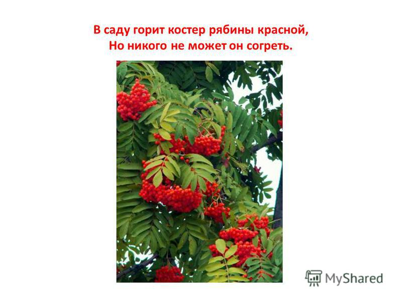 В саду горит костер рябины красной, Но никого не может он согреть.
