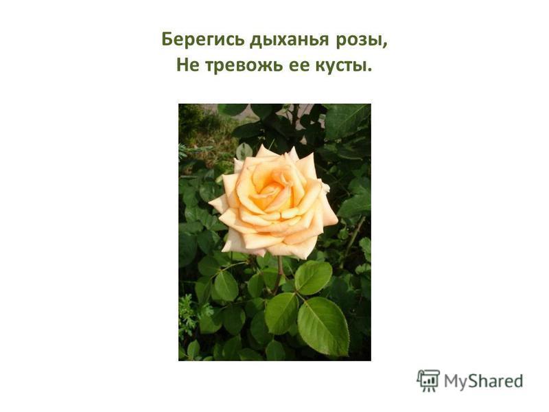 Берегись дыханья розы, Не тревожь ее кусты.