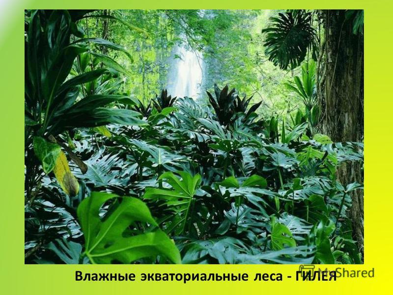 Влажные экваториальные леса - ГИЛЕЯ