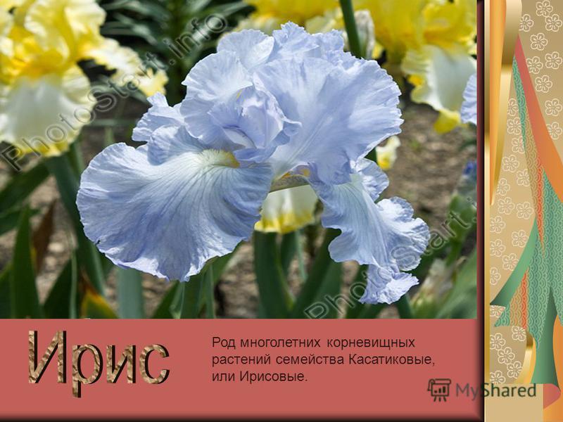 Род многолетних корневищных растений семейства Касатиковые, или Ирисовые.