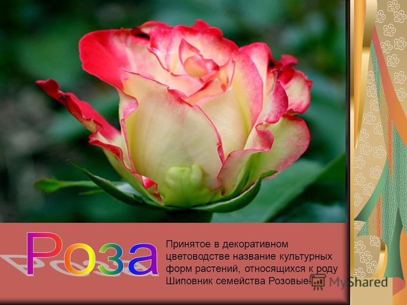 Принятое в декоративном цветоводстве название культурных форм растений, относящихся к роду Шиповник семейства Розовые.