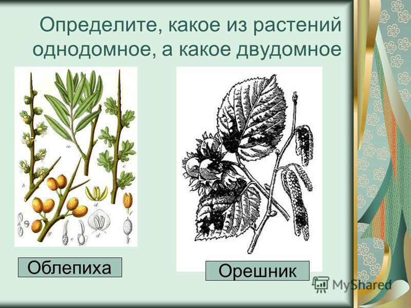 Определите, какое из растений однодомное, а какое двудомное Облепиха Орешник