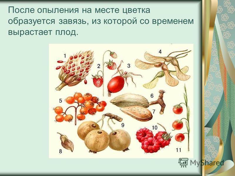 После опыления на месте цветка образуется завязь, из которой со временем вырастает плод.