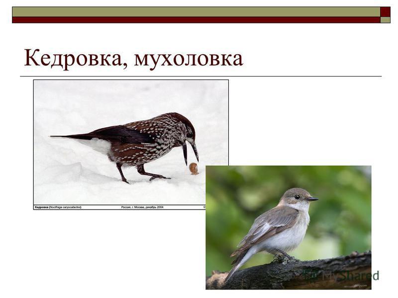 Кедровка, мухоловка