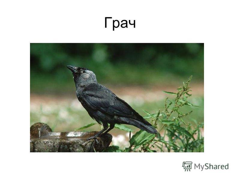 грач картинки птицы