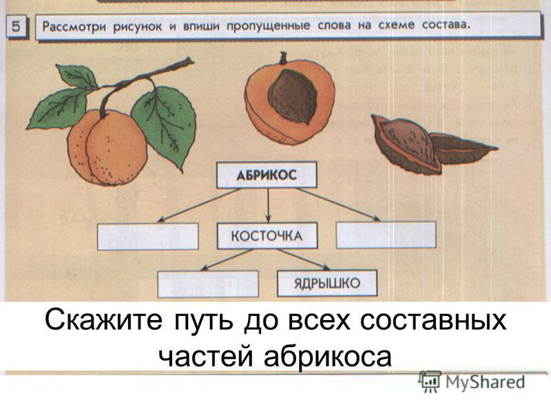 Скажите путь до всех составных частей абрикоса