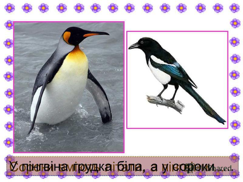 Сороки вміють літати, а пінгвіни... У пінгвіна грудка біла, а у сороки....