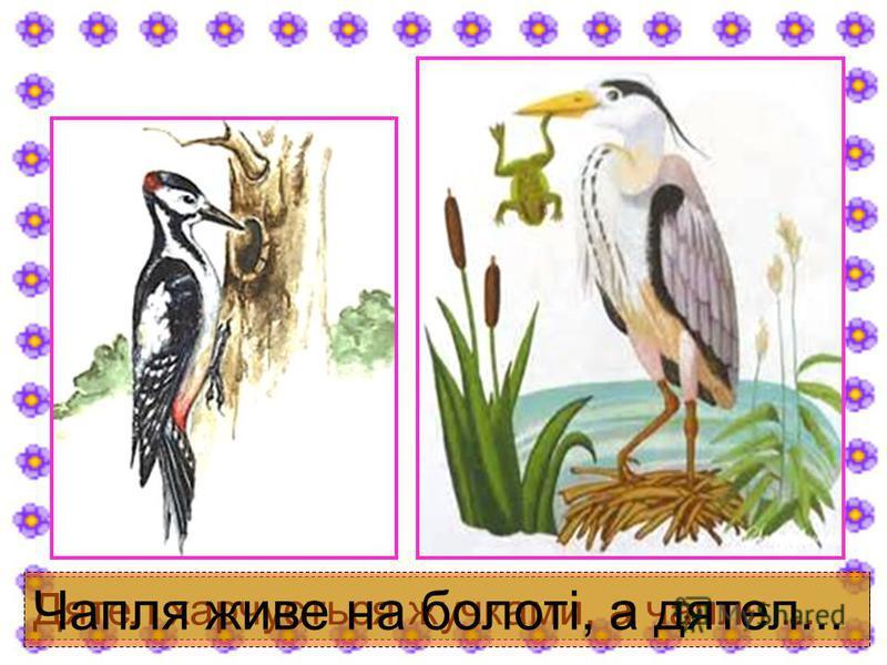 Дятел харчується жучками, а чапля... Чапля живе на болоті, а дятел...
