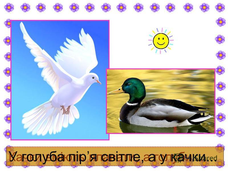 Качки вміють плавати, а голуби... У голуба піря світле, а у качки...