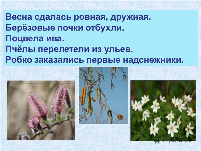 Весна сдалась ровная, дружная. Берёзовые почки отбухли. Поцвела ива. Пчёлы перелетели из ульев. Робко оказались первые надснежники.