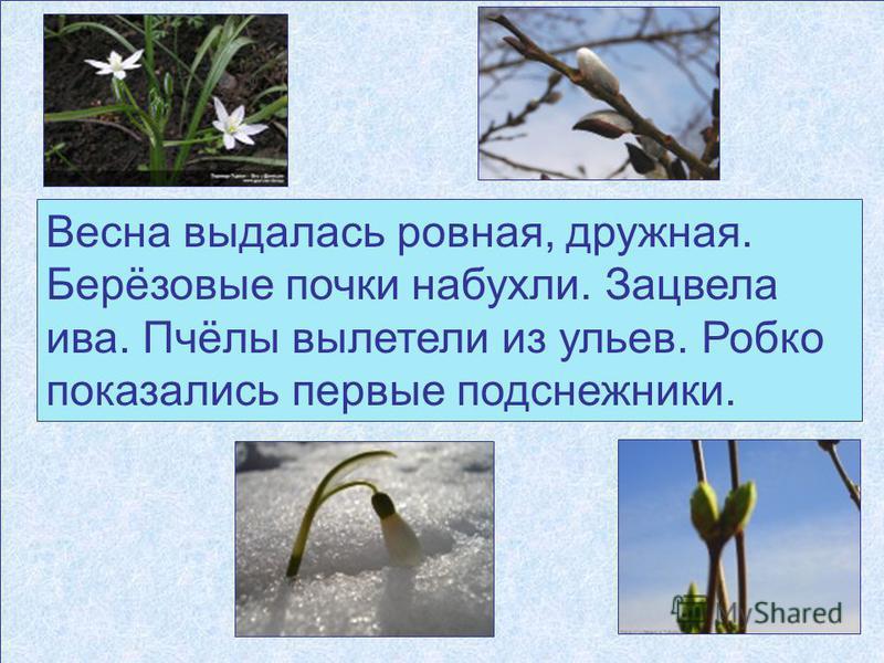 Весна выдалась ровная, дружная. Берёзовые почки набухли. Зацвела ива. Пчёлы вылетели из ульев. Робко показались первые подснежники.