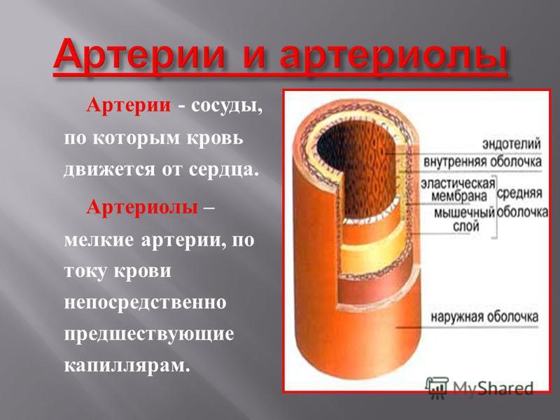 Артерии - сосуды, по которым кровь движется о т сердца. Артериолы – мелкие артерии, п о току крови непосредственно предшествующие капиллярам.