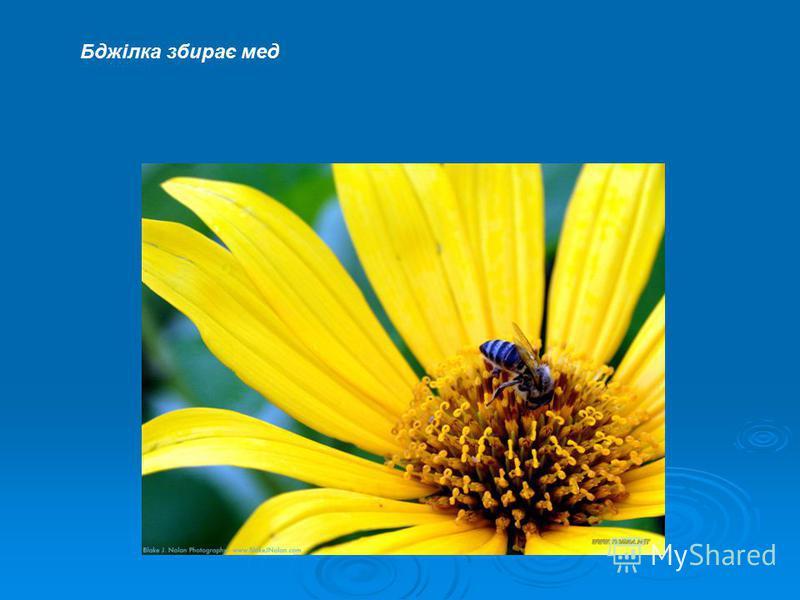 Бджілка збирає мед