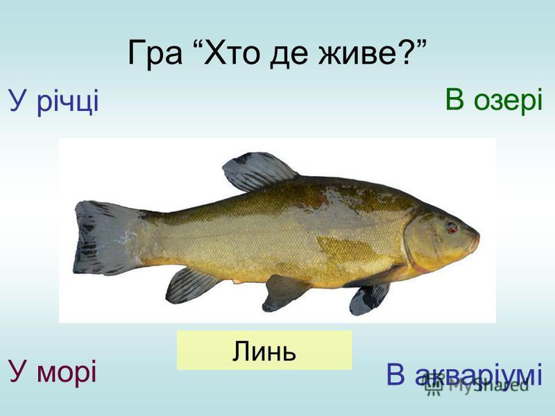 Гра Хто де живе? У річці У морі В озері В акваріумі Линь
