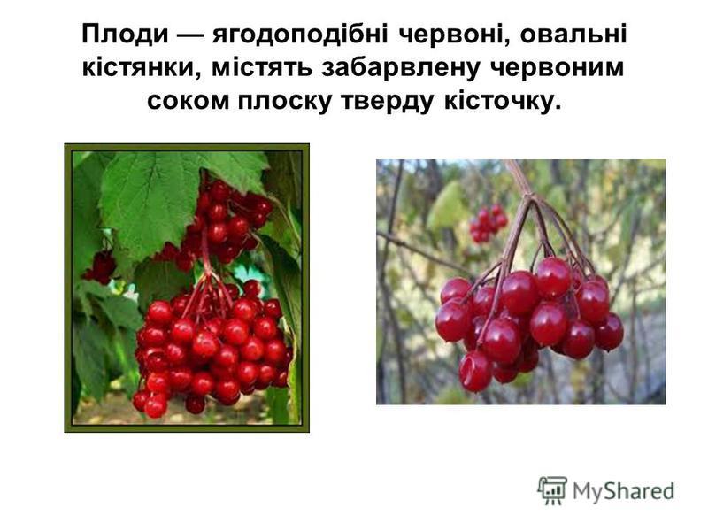 Плоди ягодоподібні червоні, овальні кістянки, містять забарвлену червоним соком плоску тверду кісточку.