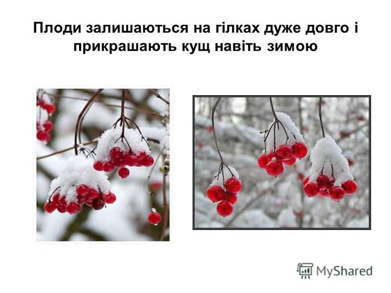 Плоди залишаються на гілках дуже довго і прикрашають кущ навіть зимою