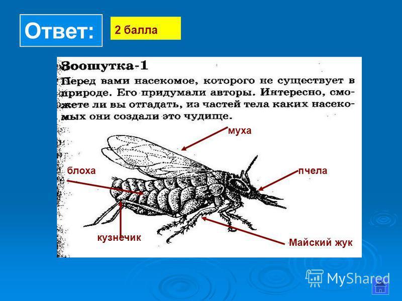 Ответ: 2 балла муха пчела кузнечик блоха Майский жук