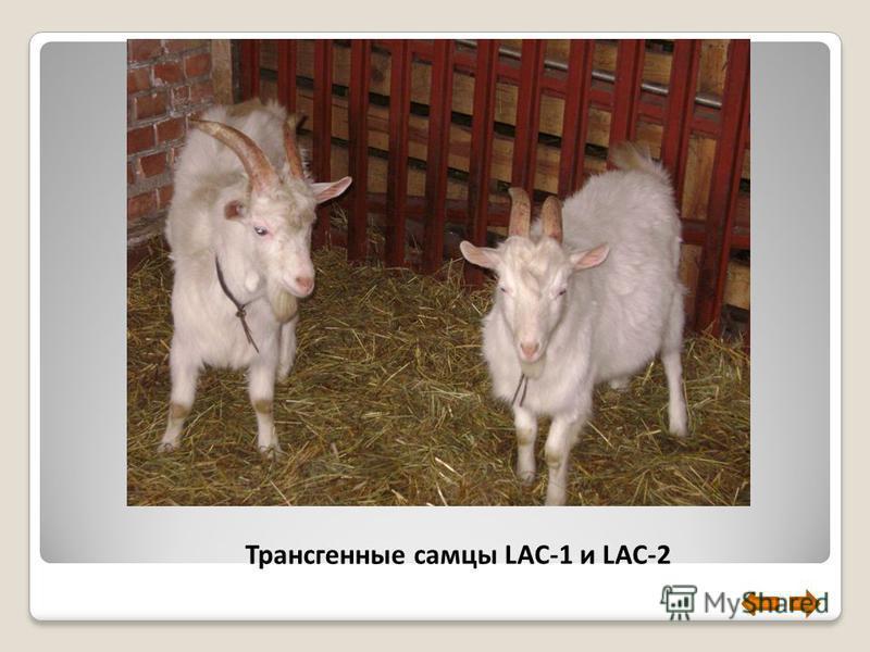 Трансгенные самцы LAC-1 и LAC-2