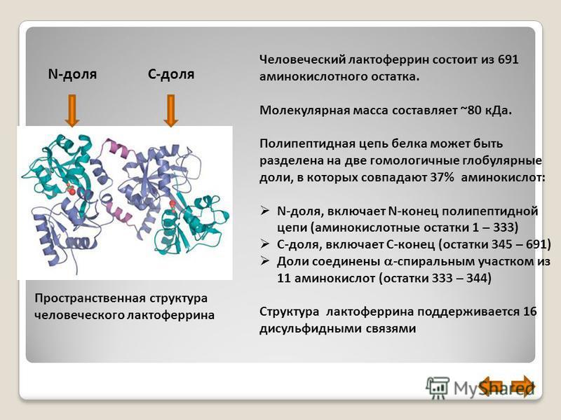 Пространственная структура человеческого лактоферрина Человеческий лактоферрин состоит из 691 аминокислотного остатка. Молекулярная масса составляет ~80 к Да. Полипептидная цепь белка может быть разделена на две гомологичные глобулярные доли, в котор