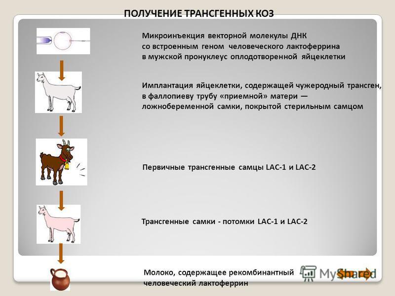 Микроинъекция векторной молекулы ДНК со встроенным геном человеческого лактоферрина в мужской пронуклеус оплодотворенной яйцеклетки ПОЛУЧЕНИЕ ТРАНСГЕННЫХ КОЗ Имплантация яйцеклетки, содержащей чужеродный трансген, в фаллопиеву трубу «приемной» матери
